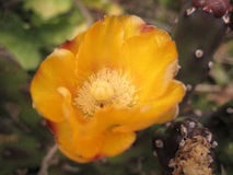 Fleur jaune-orange sur le cactus Photo libre de droits