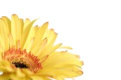 Fleur jaune orientée sélectrice de marguerite de gerbera Photos stock
