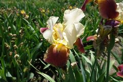 Fleur jaune pâle et rouge d'iris photo libre de droits