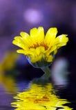 Fleur jaune reflétée dans l'eau Photos stock