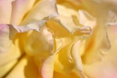 Fleur jaune - Rose Images stock