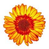 Fleur Jaune-rouge de Gerbera d'isolement Image libre de droits