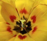 fleur Jaune-rouge de tulipe Macro closeup Fond de fleur Pour la conception Image stock