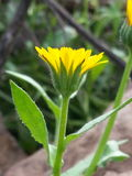 Fleur jaune sauvage photo stock