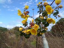 fleur jaune sauvage de coton photos stock