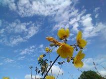 fleur jaune sauvage de coton photographie stock libre de droits
