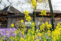 Fleur jaune se tenant devant d'autres avec le fond en bois de cottage Photos stock
