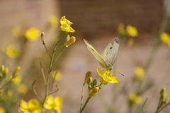 Fleur jaune sensible avec le papillon blanc photos libres de droits