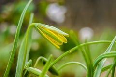 Fleur jaune sensible dans la forêt, spring_ tôt Photographie stock