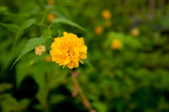 Fleur jaune simple dans une fin de jardin d'agrément  Image stock
