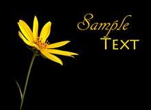 Fleur jaune simple sur le noir Image stock
