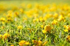 Fleur jaune sur l'herbe verte Image libre de droits
