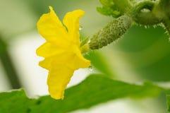 Fleur jaune sur l'ovaire de concombre Photographie stock