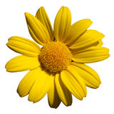 Fleur jaune sur le blanc Photos libres de droits