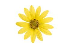 Fleur jaune sur le blanc Photos stock