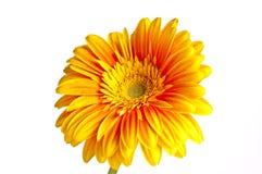 Fleur jaune sur un fond blanc Image stock