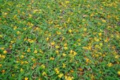 Fleur jaune sur le fond d'herbe verte Images stock