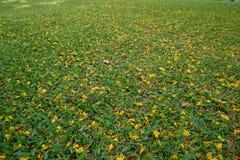 Fleur jaune sur le fond d'herbe verte Image stock