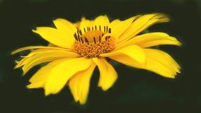 Fleur jaune sur le fond noir Images stock