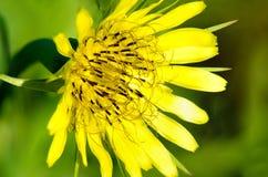 Fleur jaune sur le fond vert Image libre de droits