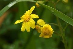 Fleur jaune sur le fond vert Photos libres de droits