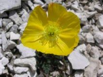 Fleur jaune sur le gravier blanc Photo libre de droits