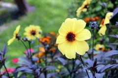 Fleur jaune vibrante de ressort image libre de droits