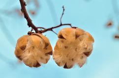 Fleur jumelle de coton Photographie stock