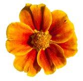Fleur kaki d'isolement d'herbe (tagetes) Images libres de droits