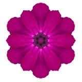Fleur kaléïdoscopique pourpre Mandala Isolated de primevère sur le blanc Photographie stock