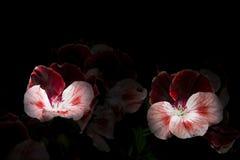 Fleur légère Photos stock