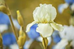 Fleur légère d'iris Photo libre de droits