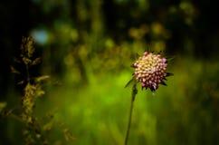 Fleur légère de champ photo stock