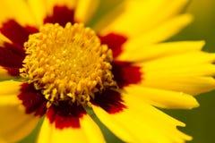 fleur Lance-leaved de Tickseed Photos stock