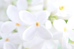 Fleur lilas photos libres de droits