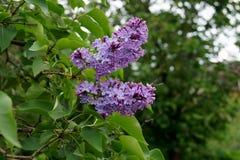 Fleur lilas Photographie stock