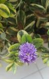 Fleur lilas images stock