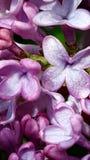 Fleur lilas Photos stock