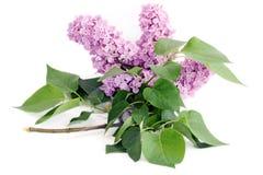 Fleur lilas avec des lames de vert sur le blanc Photo stock