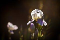 Fleur lilas d'iris Photo libre de droits