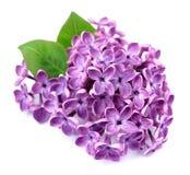 Fleur lilas d'isolement photographie stock