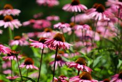 Fleur lilas dans un lit de fleur Image libre de droits