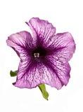 Fleur lilas de pétunia d'isolement Images libres de droits