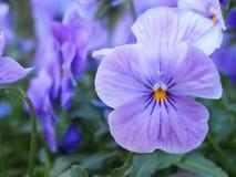 Fleur lilas de pensée Images libres de droits