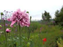 Fleur lilas de pivoine de pavot Photo stock