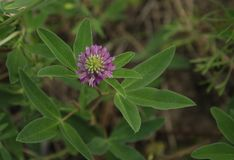 Fleur lilas de trèfle avec les oxalidex petite oseille verts Photographie stock
