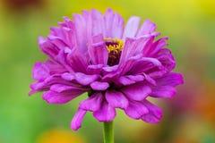 Fleur lilas de Zinnias Images libres de droits