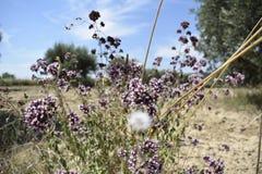 Fleur lilas et blanche avec les pissenlits defocused photo libre de droits