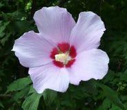 Fleur lilas pâle de Syrien de ketmie avec le macro de pilon et de pollen photo libre de droits
