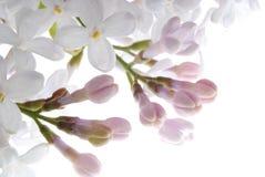 Fleur lilas pourprée Image stock